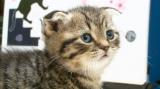 テレビ東京系『超かわいい映像連発!どうぶつピース!!』10月7日は2時間スペシャル。スコティッシュフォールド(C)テレビ東京