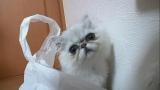 11月18日放送、テレビ東京系『超かわいい映像連発!どうぶつピース!!』より。ペルシャ(C)テレビ東京