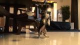 1月20日放送、テレビ東京系『超かわいい映像連発!どうぶつピース!!』より。生後4ヶ月のミックス犬(チワワ&パグ)(C)テレビ東京