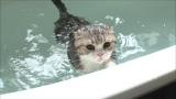 2月10日放送、テレビ東京系『超かわいい映像連発!どうぶつピース!!』より。お風呂で泳ぐ猫(スコティッシュフォールド)(C)テレビ東京