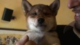 3月10日放送、テレビ東京系『超かわいい映像連発!どうぶつピース!!』より。 柴犬(イタリア)(C)テレビ東京