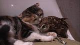3月24日放送、テレビ東京系『超かわいい映像連発!どうぶつピース!!』より。猫(スコティッシュフォールド)とフクロウ(コキンメフクロウ)の仲良しさん(C)テレビ東京