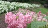 わんダフルネイチャーヴィレッジの「あじさい園」に咲くピンクアナベルとアナベル