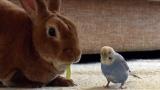 6月16日放送、テレビ東京系『超かわいい映像連発!どうぶつピース!!』ウサギとセキセイインコ(C)テレビ東京