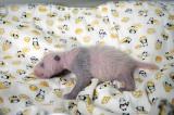 上野動物園で生まれたジャイアントパンダの赤ちゃんがメスであることが判明(公財)東京動物園協会