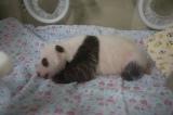 上野動物園で生まれたジャイアントパンダの赤ちゃん(30日齢)(公財)東京動物園協会