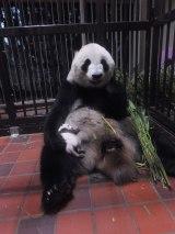 赤ちゃんパンダが定期的に母乳を飲む様子が確認されているなど、子育ても頑張っているシンシン(公財)東京動物園協会