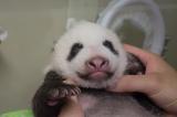 上野動物園で生まれたジャイアントパンダの赤ちゃん(40日齢)両目がうっすら開きかけていた(公財)東京動物園協会
