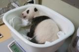 体重測定の模様(公財)東京動物園協会