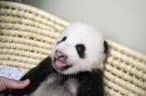 上野動物園で生まれたジャイアントパンダの赤ちゃん(50日齢)両目がはっきり開いた(公財)東京動物園協会