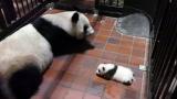 母親のシンシンと(公財)東京動物園協会