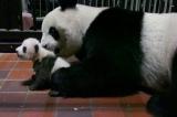 上野動物園で生まれたジャイアントパンダの赤ちゃん(60日齢)と母親のシンシン(公財)東京動物園協会