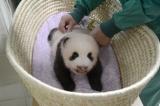 身体検査中の赤ちゃんパンダ(60日齢)(公財)東京動物園協会
