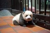 上野動物園で生まれたジャイアントパンダの赤ちゃん(70日齢)(公財)東京動物園協会
