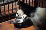 産室内のシンシンと子ども(公財)東京動物園協会