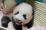 上野動物園で生まれたジャイアントパンダの赤ちゃん(80日齢)(公財)東京動物園協会