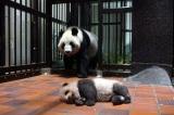 母親のシンシンも元気です(公財)東京動物園協会