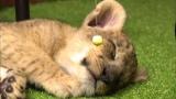 ライオンの赤ちゃん、寝ているところを起こして悪いけど…おやつだよ(C)テレビ東京
