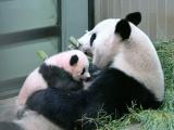 上野動物園の赤ちゃんパンダ 生後100日迎え、体重6キロに