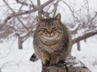 オオトラ 場所:青森県 『劇場版 岩合光昭の世界ネコ歩き コトラ家族と世界のいいコたち』