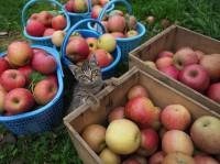 りんご農園で遊ぶコトラの子ネコ 場所:青森県 『劇場版 岩合光昭の世界ネコ歩き コトラ家族と世界のいいコたち』