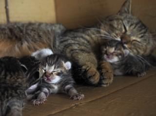 出産直後のコトラと子ネコたち