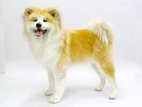 秋田犬のムクちゃん