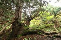 天然杉(羽衣杉)