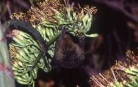 天然記念物・絶滅危惧種 オガサワラオオコウモリ