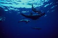 イルカと泳げるドルフィンスイム(イメージ)