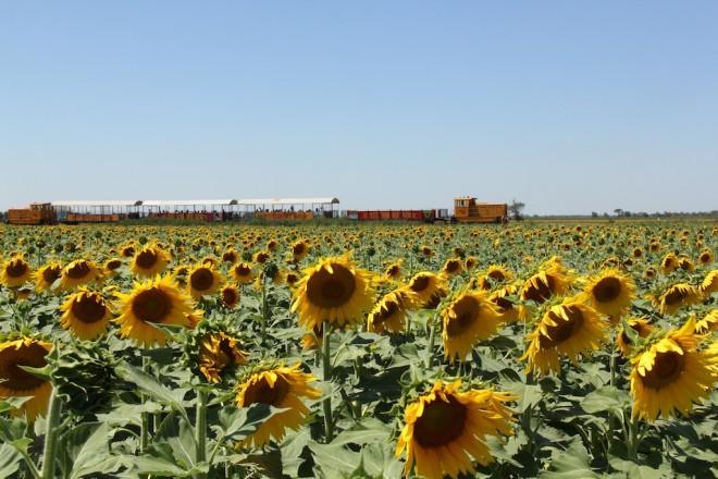 南仏アルルのひまわり畑を走るアルピーユ列車