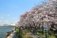 隅田区に咲き誇る桜並木