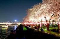 隅田区に咲き誇る夜桜
