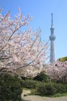 隅田区に咲き誇る桜とスカイツリー