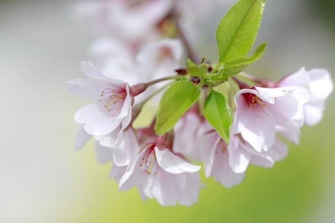 隅田区に咲き誇る桜