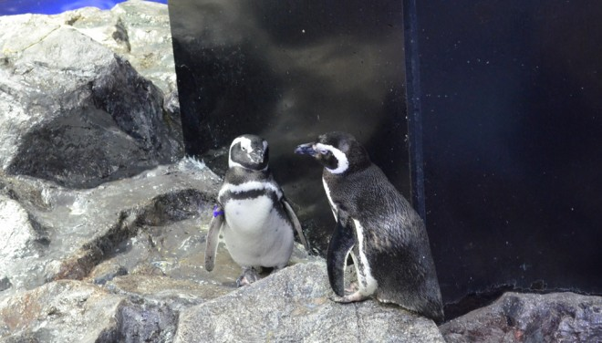 すみだ水族館にいるカップルのペンギン (C)oricon ME inc.