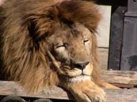 昼間はたいてい寝ているというライオン・ハヤテくん
