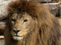 ライオンのハヤテくん