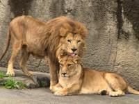妻のオトとはラブラブ…ライオンのハヤテ