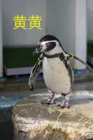 リングの色が名前のペンギン、黄黄