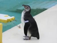 2018生まれのフンボルトペンギン メス ぽくちゃん </BR>自由すぎるペンギンショーで活躍中