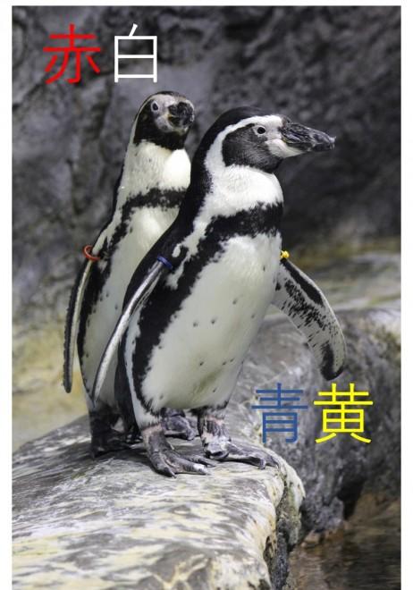 リングの色が名前のペンギン、赤白、青黄