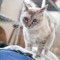 楽天発表「2019年全国の宿 自慢の看板猫ランキング」 2位に選ばれた「ミルク」(大分県 別府温泉、新玉旅館の看板猫)