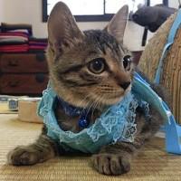 楽天発表「2019年全国の宿 自慢の看板猫ランキング」 4位に選ばれた「大吉」(群馬県 草津温泉、中村屋旅館の看板猫)