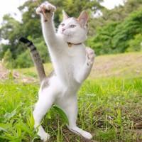 楽天発表「2019年全国の宿 自慢の看板猫ランキング」 1位に選ばれた「幸(コウ)」(鹿児島県、農家民宿 ニャンバーワンの看板猫)