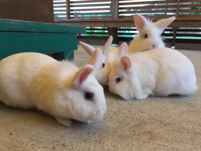 東京ドイツ村の「こども動物園」にいるウサギ