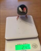「はらちゃん。体重測定終わって、もうお米ないのにまだないかと探してました。食いしん坊な子です。」(1/2)