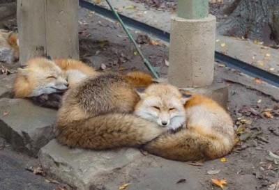 マッスルギツネ(画像提供:CONTAさん @fox_info_net)