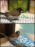 「本日、十姉妹2羽とカナリア2羽をお迎えしました。飼育放棄をされた子達の一部です。保護・里親募集をハト屋さん(@hatoya_810 )に仲介をして頂きました。こんなにこんなに可愛いのに。家に着いて少ししたら安心したのか、ご飯もたっぷり食べて寛いでくれてました!」(1/3)