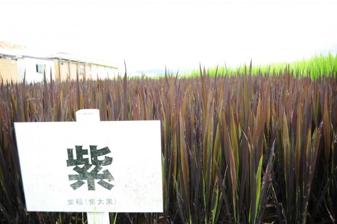 田んぼアートに使われる色のついた古代米
